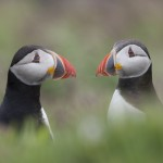 paul richards - Puffins - having a chat